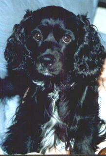 [ my stepdog Chao Sing, the cocker spaniel, as a puppy. Isn't she cute?]