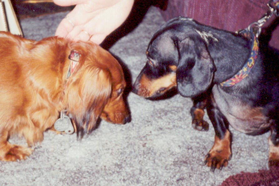 [ My dachsund Toby(on left) and his new friend, another dachsund Muffin(on right) at Muffin's house (spring 2002)]